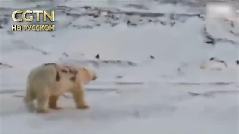 Ученые выясняют, где было снято видео с белым медведем, на боку которого написано Т-34