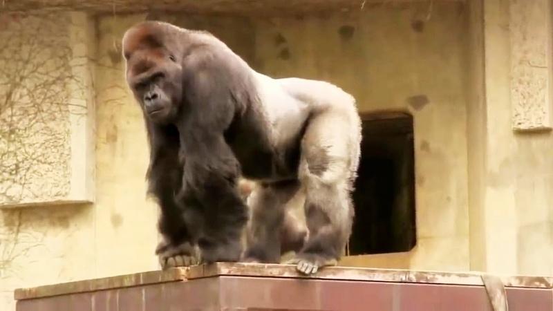 Версус! На что способна Горилла и другие обезьяны!