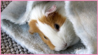 Cutest guinea pigs of the year!