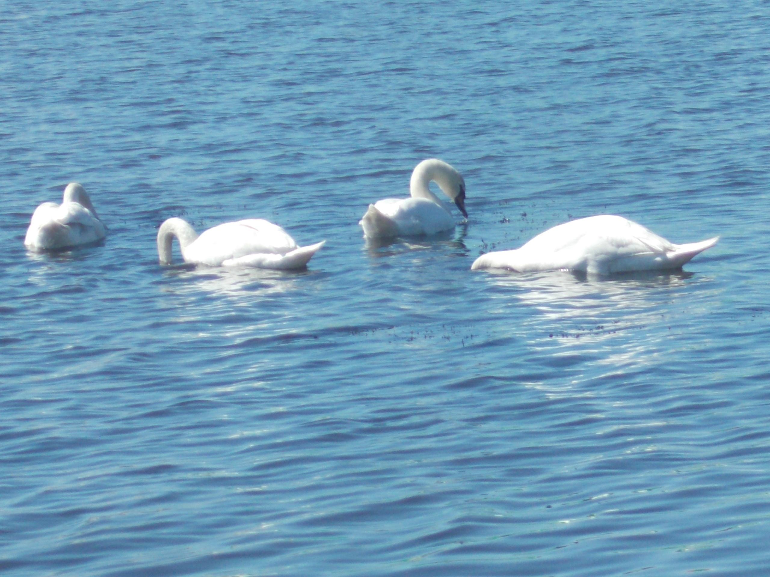 В Архангельске на озере в Волохнице лебеди.