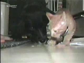 Жадный кот