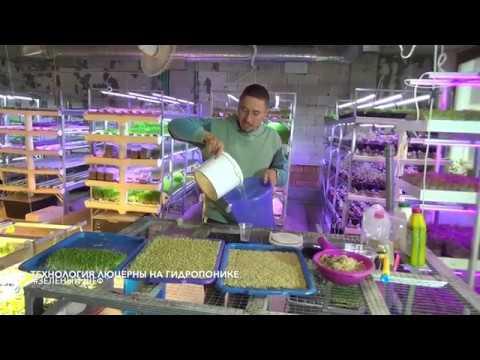 Микрозелень Технология люцерна Microgreen Alfalfa Technology