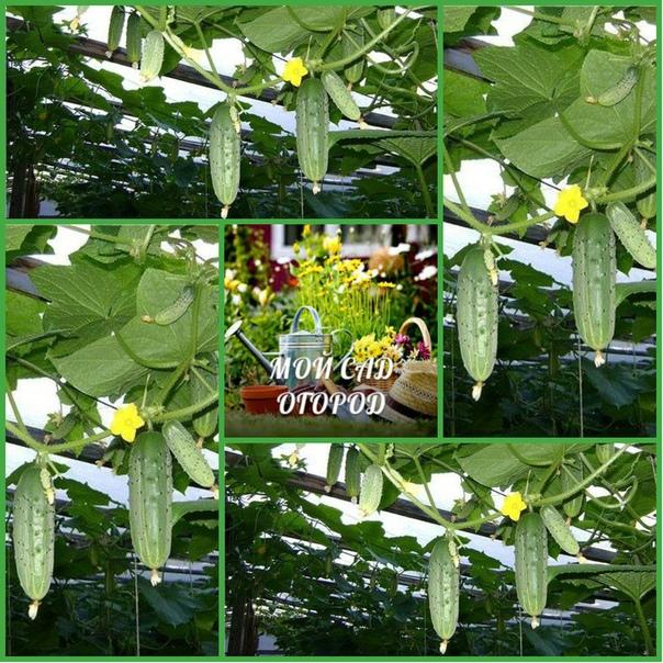 Технология выращивания огурца