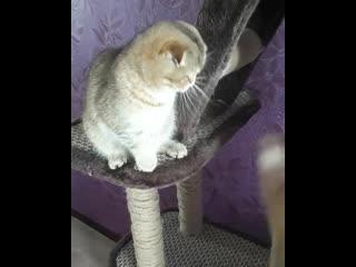 Генриетта. не продается. Но сейчас в питомнике  есть маленькие ее братья и сестры:) А также другие шотландские котята) Все прек