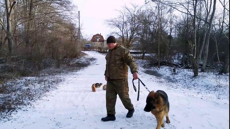 Немецкая овчарка 9 месяцев Ральф дрессировка с котами!