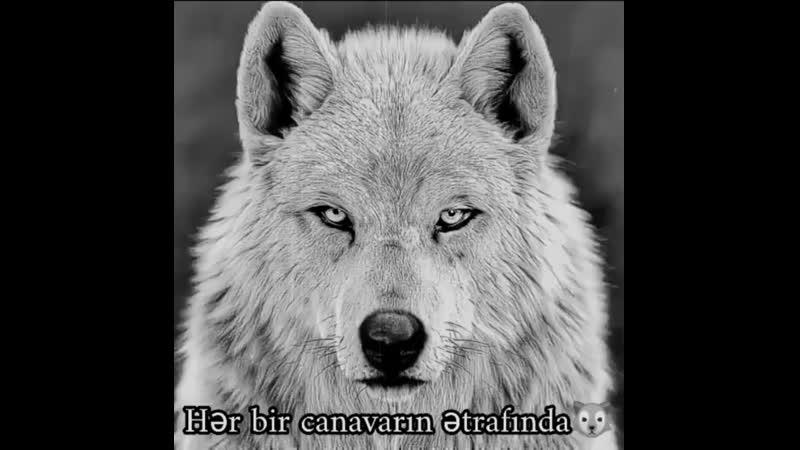 Wolf sᴀʟᴀᴍ ᴀʟᴇʏᴋᴜᴍ ғɪᴋɪʀʟᴇʀ ᴏ̈ɴᴇᴍʟɪᴅi wolf ᴋᴀʏᴅ ᴇᴅɪʙ ᴄᴏᴍᴇɴᴛ ᴀᴛᴀϙ xᴀɪşᴅɪ wolf Səhifə s 750 X 750 mp4