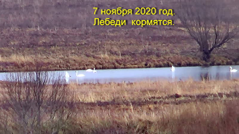 7 ноября 2020 год Цимола Лебеди на озере и Вонга
