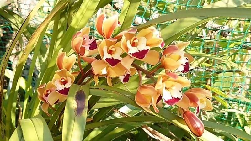 Уличные орхидеи в январе Cymbidium Dendrobium Phaius Neofinetia