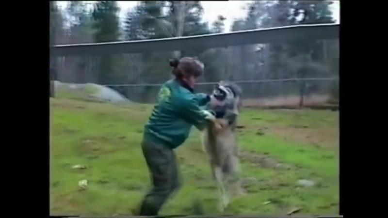 волк vs женщина