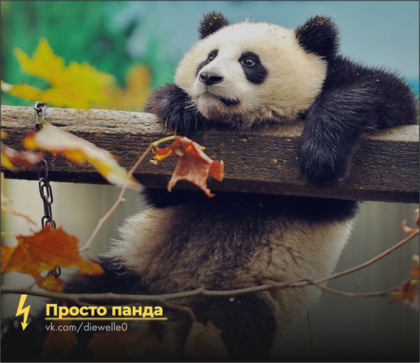 Просто панда смотрит в осень. И ты посмотри. Все будет хорошо.