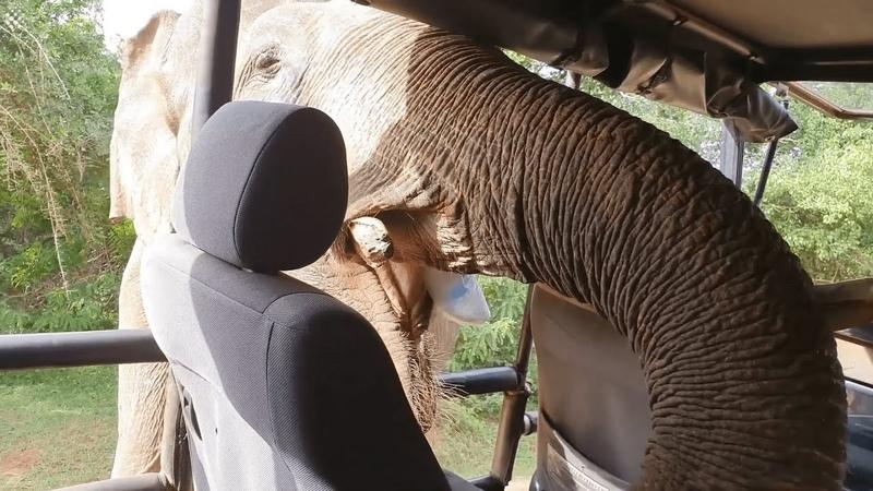 Jurassic Park Moment as HUGE bull elephant raids safari jeep.
