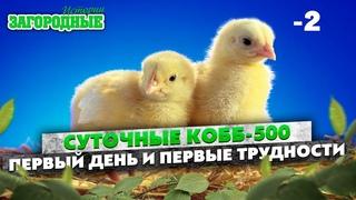 Суточные цыплята КОББ-500 спасаем от холода