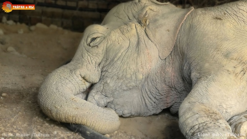 Видели как СЛОН СПИТ Ложится и просыпается Тайган How the ELEPHANT SLEEPS lies down and wakes up