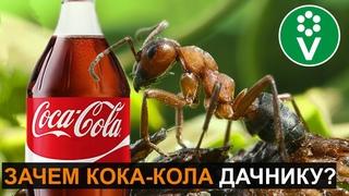 Если в теплице завелись муравьи - напоите их кока-колой! И вот зачем...