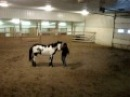 09 Black Overo Stallion Just Scribblin