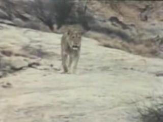 Эти два человека растили львёнка, которого назвали Кристианом. К сожалению, он стал слишком большим чтобы о нём заботились и они