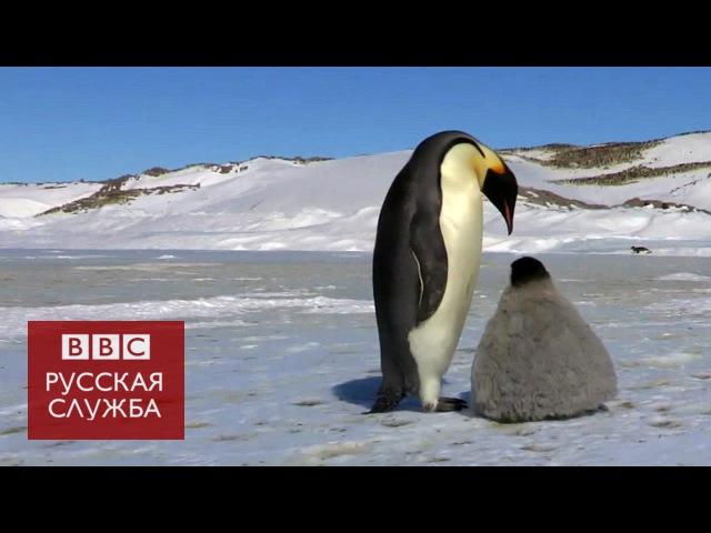 Робот шпион в стае пингвинов BBC Russian