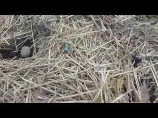 Посадка картошки, раннего сорта Импала, под солому.