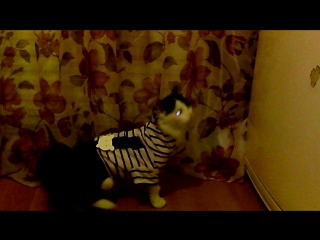 Новосибирск. найдена шикарная кошечка. добрая , ласковая. отдается в добрые руки 8913-392-11-09