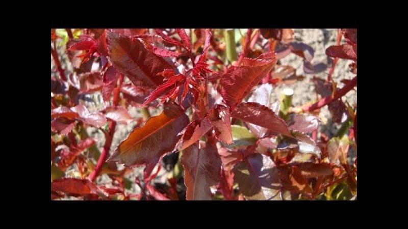 Краснеющий лист у розы весной