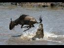 Зловещая охота крокодилов на зебр антилоп и газелей Великая миграция через реку Мара