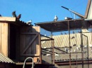николаевские торцовые голуби фрунзовка