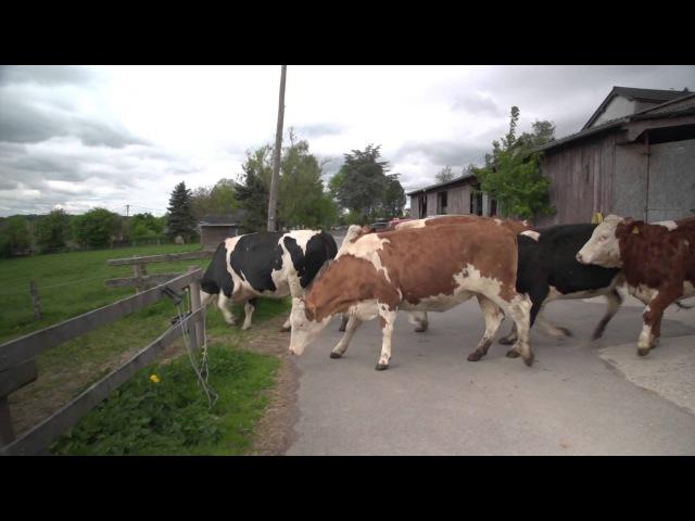 Die Kühe sind los Kuhrettung Rhein Berg vacas liberadas