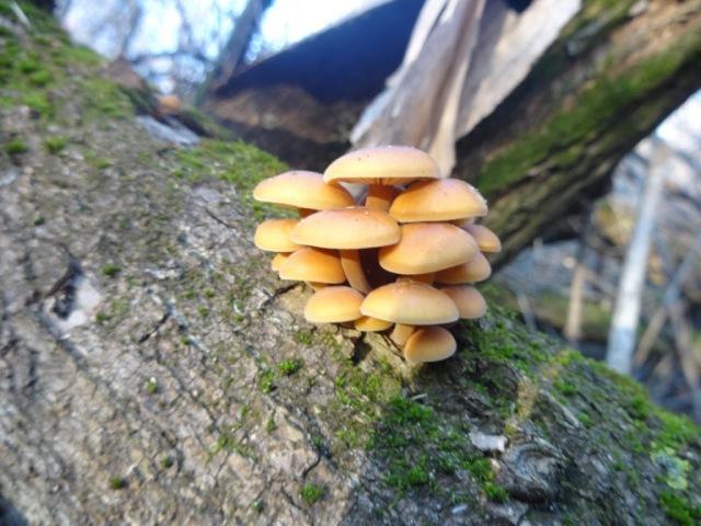Зимние опята. Flammulina velutipes. Сбор грибов в Днепропетровской области. Декабрь 2015.