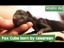 Кесарево сечение у лисы / First fox cubs dramatically arrive by cesarean