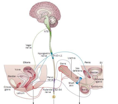 Pdf Human Female Orgasm As Evolved Signal