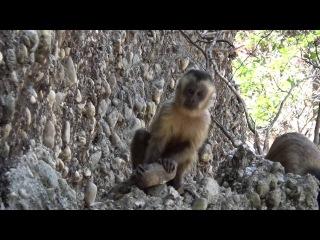 Capuchin Monkeys Accidentally Make Stone 'Tools'