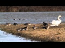 Из жизни гусей Несколько шикарных кадров о диких гусях