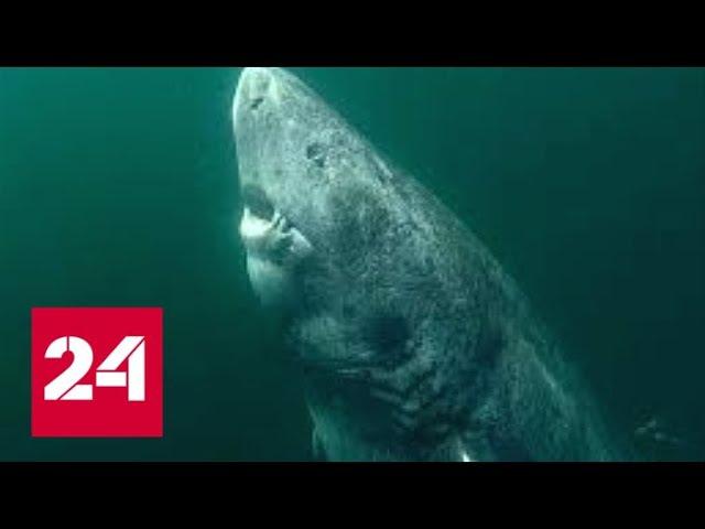 В Атлантике поймали 512 летнюю акулу Россия 24