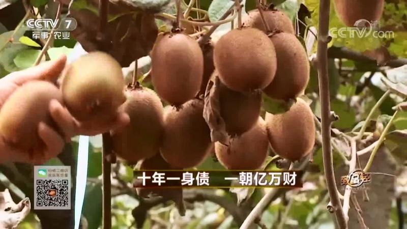 Киви или Актинидия китайская лат Actinidia chinensis Райские сады и миллиардные прибыли