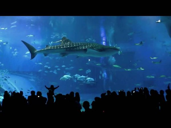 Lara's Song by Glide Swerve (Okinawa Churaumi Aquarium) :-)