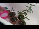 Уход за комнатной розой. Паутинный клещ. Tetranychidae
