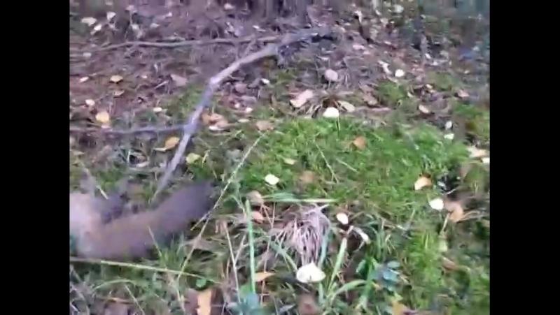 Охота с гончими...нашли куницу.