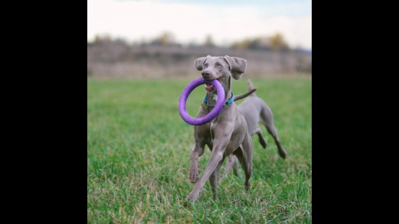 MOSCOW WEIMARANER CLUB PICNIC