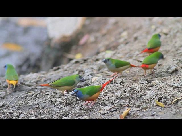 Pin tailed parrotfinch Длиннохвостая зелёная попугайная амадина Erythrura prasina