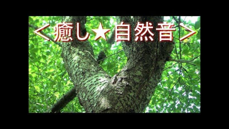 летний тихий звенящий звук<癒し★自然音> セミの鳴き声② 蝉たちで賑やかな真夏の森 6528