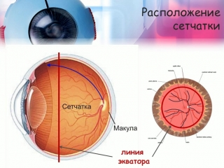 Анатомия и физиология сетчатки