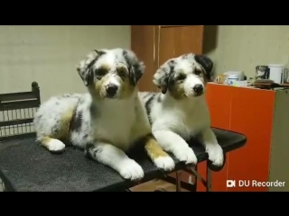 D litter, Teddy and Dessie, 3,5 months (Lucky and Tao puppies)
