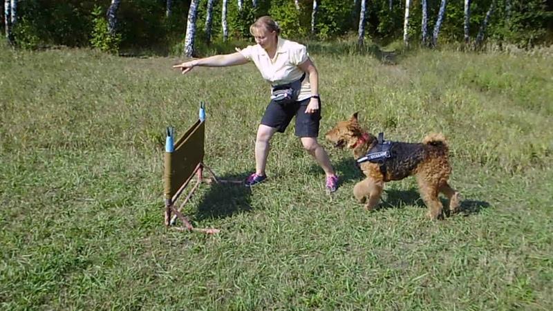 эрдельтерьер Сара тренинг 20 08 19 барьер ботсад