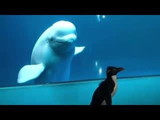 Пингвин знакомится с белухами