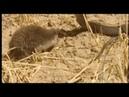 Porco espinho vs cobra salvando lagarto