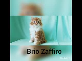 Рыжий шотландский котенок хайленд страйт. Купить котенка в Москве в питомнике кошек.