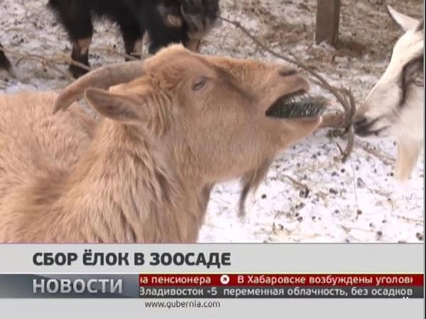 Сбор ёлок в зоосаде Новости 09 01 2019 GuberniaTV