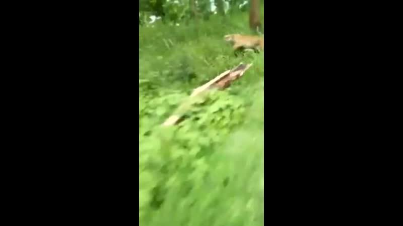 Бенгальский тигр погнался за мотоциклистом едущим в индийском лесу