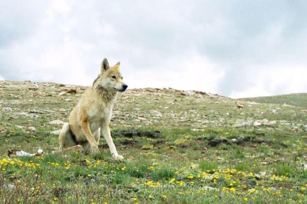 В мире животных. Выявлен новый вид волков