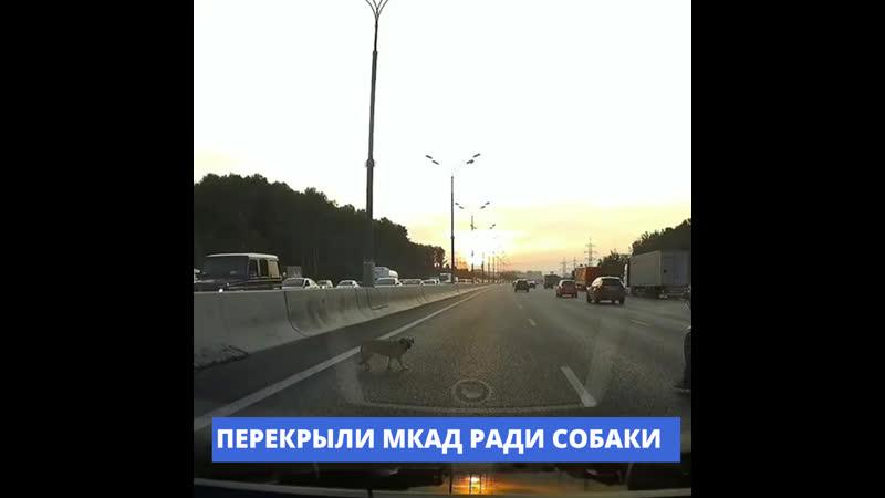 Стой, друг!: водители перекрыли МКАД ради спасения собаки